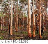 Купить «australian eucalyptus gumtree forest after bushfire», фото № 10462386, снято 27 марта 2019 г. (c) PantherMedia / Фотобанк Лори