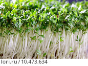 Купить «herbs substrate cress culinary garden», фото № 10473634, снято 20 июля 2019 г. (c) PantherMedia / Фотобанк Лори