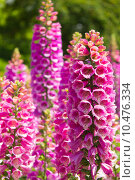 Купить «Flowers foxglove», фото № 10476334, снято 16 июля 2019 г. (c) PantherMedia / Фотобанк Лори