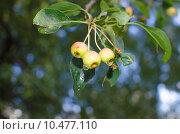 Ранета яблоки после дождя. Стоковое фото, фотограф Наталья Богуцкая / Фотобанк Лори
