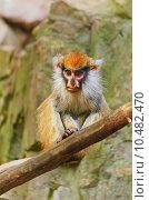 Купить «Patas Monkey», фото № 10482470, снято 17 сентября 2019 г. (c) PantherMedia / Фотобанк Лори