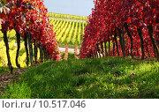Купить «autumn fall seasons vine vineyard», фото № 10517046, снято 16 декабря 2017 г. (c) PantherMedia / Фотобанк Лори