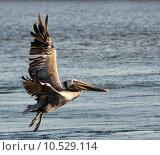Купить «Pelican in flight. Photo taken at Bolsa Chica Wetlands, Ecological Reserve in Huntington Beach, California», фото № 10529114, снято 18 июня 2019 г. (c) PantherMedia / Фотобанк Лори
