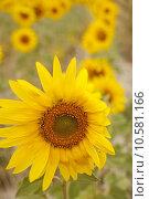 Купить «A lot of Sunflowers in spanish countryside», фото № 10581166, снято 24 июня 2019 г. (c) PantherMedia / Фотобанк Лори