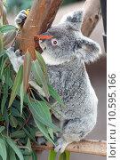 Купить «koala», фото № 10595166, снято 18 октября 2019 г. (c) PantherMedia / Фотобанк Лори