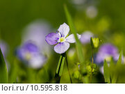 Купить «Macro of a purple lady smock (Cardamine pratensis) in spring on a meadow», фото № 10595818, снято 21 сентября 2019 г. (c) PantherMedia / Фотобанк Лори