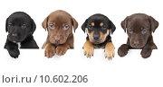 Купить «Four puppies above banner», фото № 10602206, снято 16 сентября 2019 г. (c) PantherMedia / Фотобанк Лори