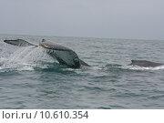 Купить «Large Tail Slap of a Humpback Whale», фото № 10610354, снято 26 мая 2019 г. (c) PantherMedia / Фотобанк Лори