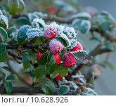 Купить «Winter Berries and Frost», фото № 10628926, снято 18 июня 2019 г. (c) PantherMedia / Фотобанк Лори