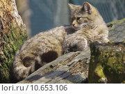 Купить «wild cat hunting hunter prey», фото № 10653106, снято 22 марта 2019 г. (c) PantherMedia / Фотобанк Лори