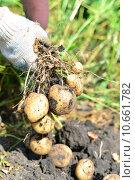 Купить «Молодые клубни картофеля в руках», фото № 10661782, снято 16 августа 2015 г. (c) Володина Ольга / Фотобанк Лори