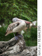 Купить «Spot-billed Pelican or Grey Pelican (Pelecanus philippensis)», фото № 10664990, снято 26 марта 2019 г. (c) PantherMedia / Фотобанк Лори