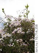 Купить «clematis flowers growing in the wild», фото № 10714358, снято 24 февраля 2019 г. (c) PantherMedia / Фотобанк Лори