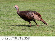 Купить «Wild Turkey (Meleagris gallopavo)», фото № 10718358, снято 24 февраля 2019 г. (c) PantherMedia / Фотобанк Лори