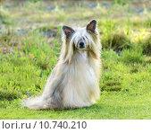Купить «Chinese Crested dog (Powderpuff)», фото № 10740210, снято 13 мая 2020 г. (c) PantherMedia / Фотобанк Лори