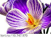 Купить «Stripy blue and white crocus blooms isolated on white.», фото № 10747970, снято 13 декабря 2018 г. (c) PantherMedia / Фотобанк Лори