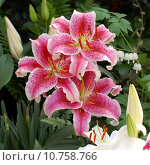 Купить «Three lilies in garden», фото № 10758766, снято 16 октября 2018 г. (c) PantherMedia / Фотобанк Лори
