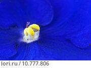 Купить «Macro photo of Afrikan violets (Saintpaulia) », фото № 10777806, снято 9 июля 2020 г. (c) PantherMedia / Фотобанк Лори