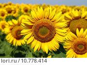 Цветущие подсолнухи. Стоковое фото, фотограф Валентин Родоманов / Фотобанк Лори