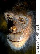 face head monkey meditate physiognomy. Стоковое фото, фотограф Heiko Küverling / PantherMedia / Фотобанк Лори