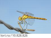 Купить «insect dragonfly fluginsekt gomphus pulchellus», фото № 10828826, снято 20 сентября 2019 г. (c) PantherMedia / Фотобанк Лори