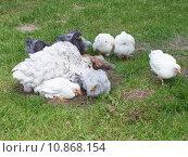 Купить «chicken chick hen breeding chickens», фото № 10868154, снято 25 марта 2019 г. (c) PantherMedia / Фотобанк Лори