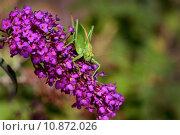 Купить «animal eyes insect cricket grasshopper», фото № 10872026, снято 20 сентября 2019 г. (c) PantherMedia / Фотобанк Лори