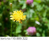 Купить «flower sonchus and hoverfly», фото № 10889322, снято 17 августа 2018 г. (c) PantherMedia / Фотобанк Лори