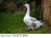 Купить «beak goose gander cackle beaks», фото № 10917454, снято 23 июля 2019 г. (c) PantherMedia / Фотобанк Лори