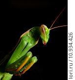 Купить «insect gemeine gottesanbeterin mantis religiosa», фото № 10934426, снято 20 сентября 2019 г. (c) PantherMedia / Фотобанк Лори