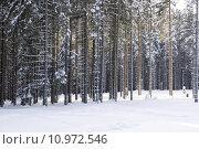 Купить «Mountain pine forest in winter», фото № 10972546, снято 24 августа 2019 г. (c) PantherMedia / Фотобанк Лори