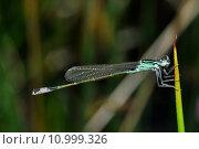 Купить «insect gro pechlibelle ischnura eleganslibellen», фото № 10999326, снято 20 сентября 2019 г. (c) PantherMedia / Фотобанк Лори