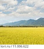Купить «golden paddy rice farm», фото № 11006622, снято 22 июля 2019 г. (c) PantherMedia / Фотобанк Лори