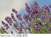 Купить «plant flower flowers violet lavender», фото № 11028470, снято 25 июня 2018 г. (c) PantherMedia / Фотобанк Лори
