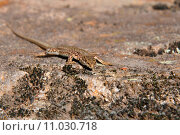 rock reptile lizard hovel poikilotherm. Стоковое фото, фотограф Andreas Zieher / PantherMedia / Фотобанк Лори