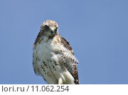 Купить «Close Up of a Red-Tailed Hawk», фото № 11062254, снято 16 сентября 2019 г. (c) PantherMedia / Фотобанк Лори