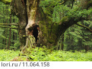 Купить «oak deutsche eiche eichenstamm eichenwald», фото № 11064158, снято 22 мая 2019 г. (c) PantherMedia / Фотобанк Лори