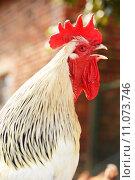 Rooster on traditional free range poultry farm. Стоковое фото, фотограф Z Jan / PantherMedia / Фотобанк Лори