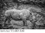 Купить «nature animals africa bedrohte tierarten», фото № 11087530, снято 17 июня 2019 г. (c) PantherMedia / Фотобанк Лори