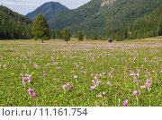 Купить «meadow arzneipflanze autumn timeless colchicin», фото № 11161754, снято 21 августа 2019 г. (c) PantherMedia / Фотобанк Лори