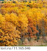 Купить «yellow autumn forest», фото № 11165046, снято 24 августа 2019 г. (c) PantherMedia / Фотобанк Лори