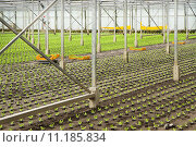 Купить «Planting new young salad plants in glasshouse», фото № 11185834, снято 10 декабря 2018 г. (c) PantherMedia / Фотобанк Лори