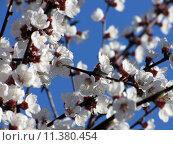 Купить «Close up of the cherry blossoms», фото № 11380454, снято 22 июля 2018 г. (c) PantherMedia / Фотобанк Лори