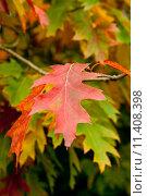 Купить «Осенний красный лист», фото № 11408398, снято 3 октября 2010 г. (c) Татьяна Кахилл / Фотобанк Лори