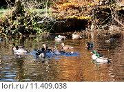 Купить «Осеннее озеро с плавающими дикими утками», фото № 11409038, снято 5 ноября 2012 г. (c) Татьяна Кахилл / Фотобанк Лори