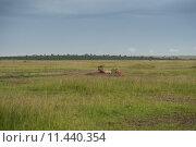 Купить «nature africa cat safari predator», фото № 11440354, снято 21 марта 2019 г. (c) PantherMedia / Фотобанк Лори