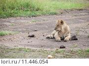 Купить «nature animal africa cat safari», фото № 11446054, снято 21 марта 2019 г. (c) PantherMedia / Фотобанк Лори