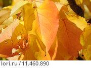 Купить «yellow autumn colours herbststimmung im», фото № 11460890, снято 20 сентября 2018 г. (c) PantherMedia / Фотобанк Лори