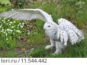 Купить «Close up of a Snowy Owl. Bubo scandiacus», фото № 11544442, снято 21 марта 2019 г. (c) PantherMedia / Фотобанк Лори
