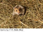 Купить «Hamster in a hay.», фото № 11566962, снято 2 июня 2020 г. (c) PantherMedia / Фотобанк Лори